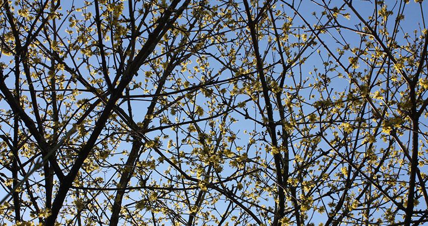 Heesters bladverliezend: Cornus mas (gele kornoelje)