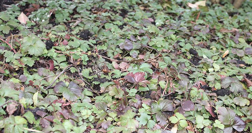 Bodembedekker: Waldsteinia (goudaardbei)