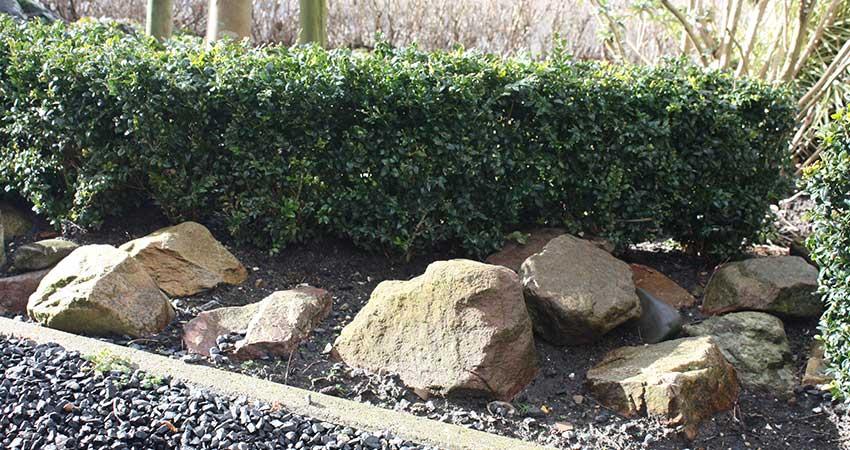 Hagen: Buxus Sempervirens