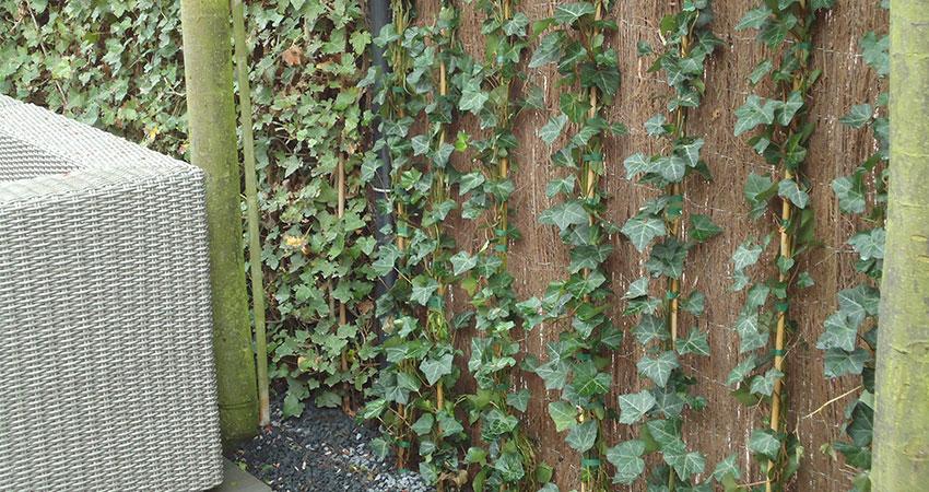 Klim- en leiplanten: Hedera helix Hibernica (klimop)
