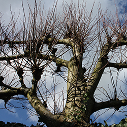 Leibomen: Tilia europaea (leilinde)