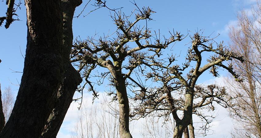 Vormbomen: Malus (appelboom)