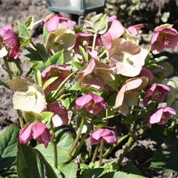 Vaste planten: Helleborus orientalis (kerstroos)