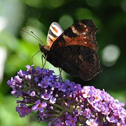 vlinder-250x250pix