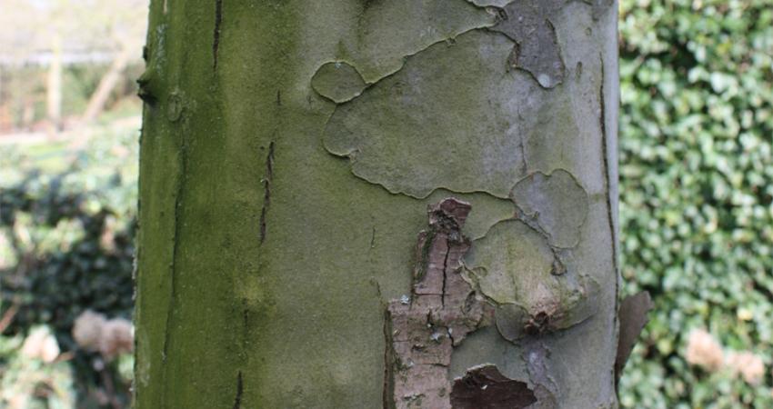 Vormbomen: Platanus acerifolia (dakplataan)