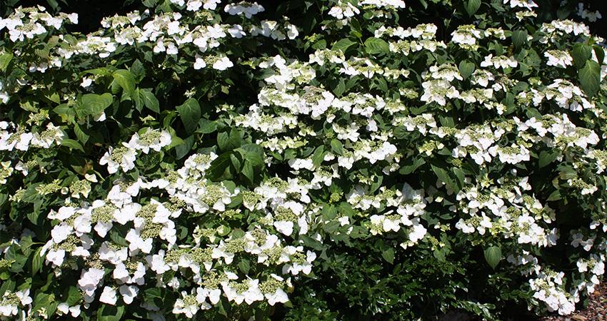 Heesters bladverliezend: Hydrangea teller Elegance