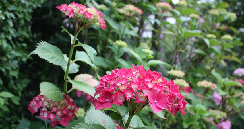 Heesters bladverliezend: Hydrangea macrophylla (boeren Hortensia)