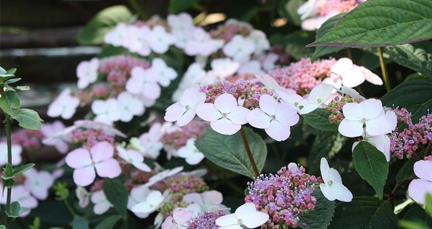 Heesters bladverliezend: Hydrangea