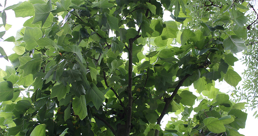 Bomen: Liriodendron tulipifera (tulpenboom)