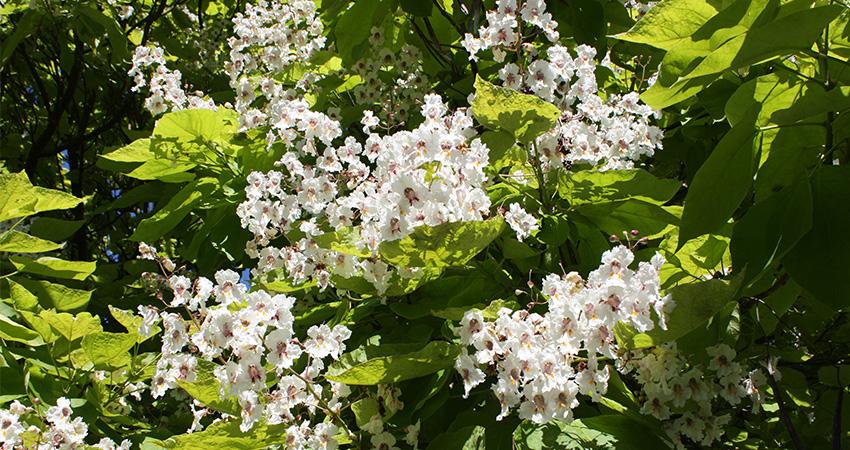 Bomen: Catalpa bignonioides (trompetboom)