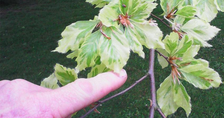 Bomen: Fagus sylvatica Oudenbosch (bonte beuk)