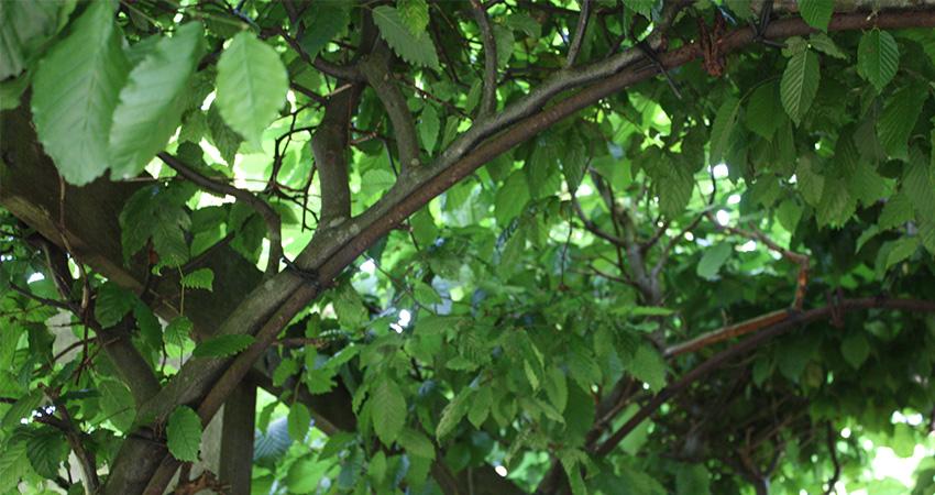 Bomen: Fagus sylvatica (beuk)