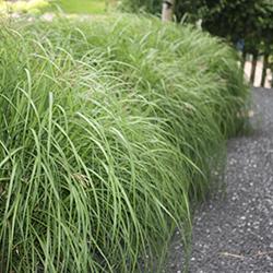Grassen: Miscanthus sinensis (prachtriet)