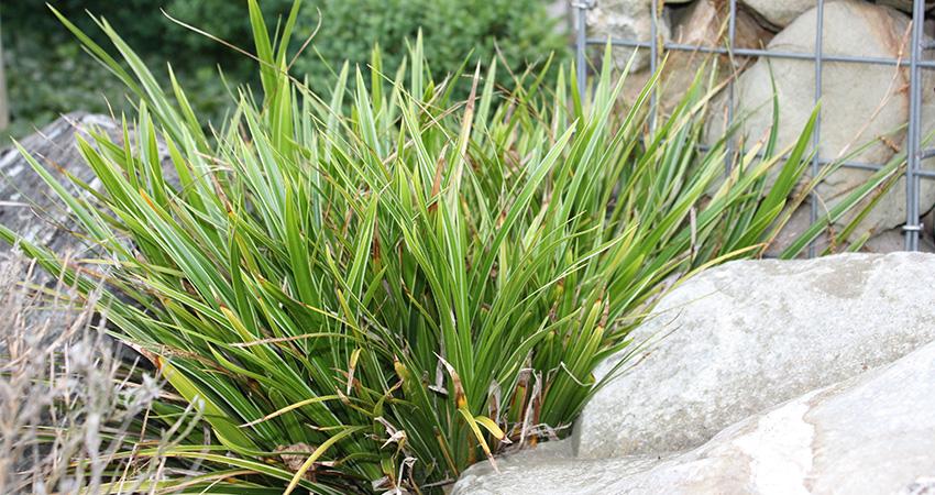 Grassen: Carex Morrowii (Japanse zegge)