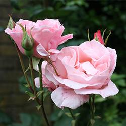 Rozen: Rosa Queen Elisabeth