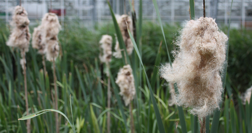 Waterplanten: Typha latifolia (lisdodde)