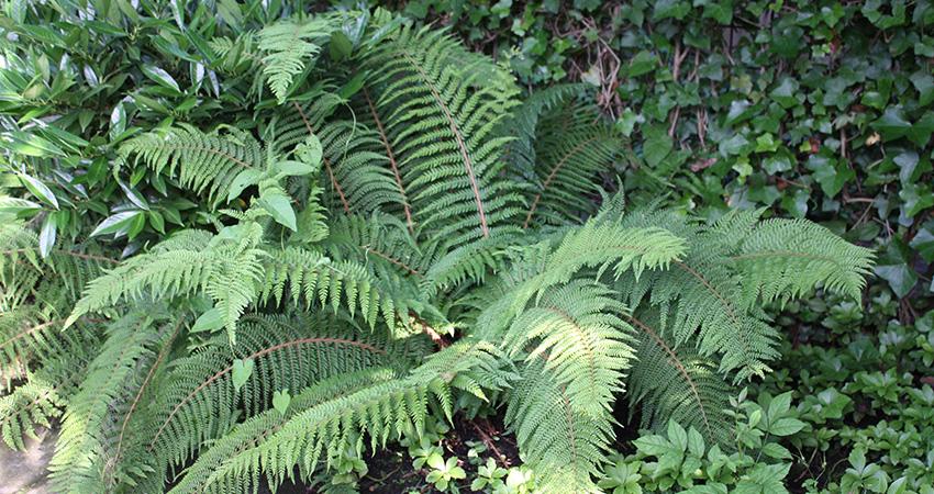 Vaste planten: Varen
