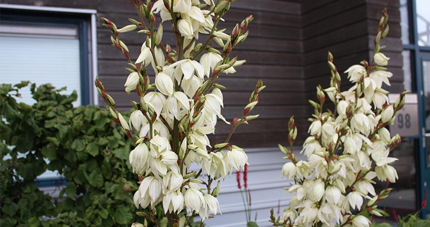 Vaste planten: Yucca flaccida (palmlelie)