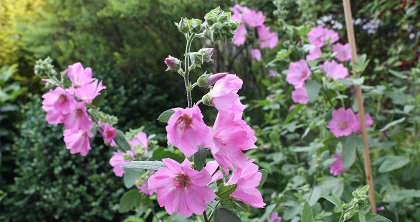 Vaste planten: Lavatera olbia (struikmalva)